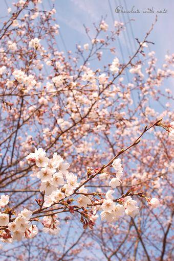 04 桜.jpg