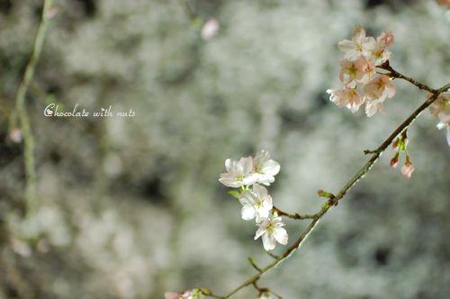 08 白桜.jpg