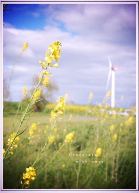 20 菜の花.jpg_effected.png