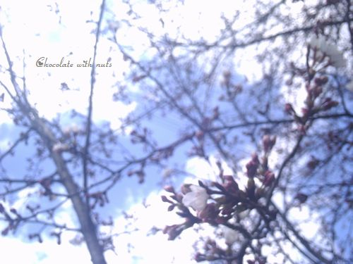 21 桜の木と青い空.jpg
